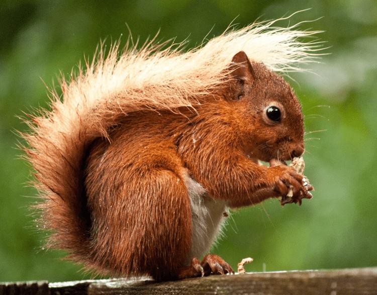 Westmorland Red Squirrels